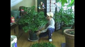 100 biggest house plants 860 best house plants images on