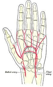 Foot Vascular Anatomy Vascular Anatomy Of The Hand