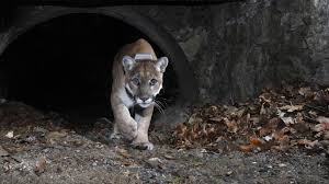 a week in the life of p 22 the big cat who shares griffith park