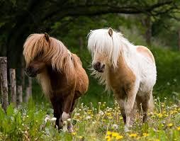 animali da cortile definizione pony cavalli caratteristiche dei pony