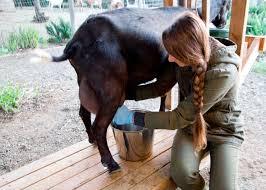 milking backyard goats youtube