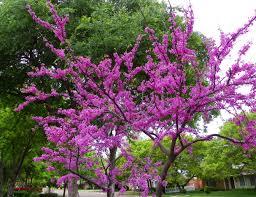 photo redbud tree lubbock texas 4 14 2010 denver colorado