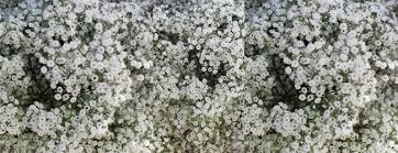 baby s breath flower spotlight and sale baby s breath and lace fiftyflowers