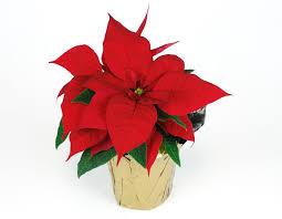 poinsettia plant fun facts u0026 care wedel u0027s nursery florist and