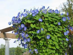 10 best flowering vines for arches pergola arbor and trellis