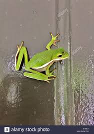 green frog on a door stock photo royalty free image 310716175