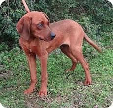 bluetick coonhound vs redbone coonhound danny boy pending adopted dog westport ct redbone