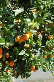 specialty fruit citrus rice road greenhouses