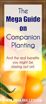 herb growing chart companion planting chart for vegetables and herbs homesteads