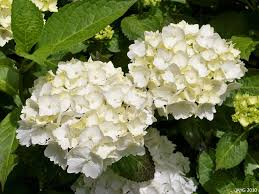 white hydrangeas lacecap hydrangeas name that plant