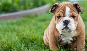 10 dog breeds that have the cutest puppies u2013 iheartdogs com
