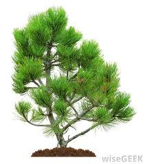 download pine tree plant solidaria garden