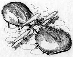 file horseshoe crabs draw jpg wikimedia commons