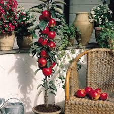 miniature patio fruit trees collection j parker dutch bulbs