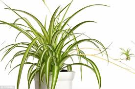 indoor greenery boosts mood reduces stress and cleans the air