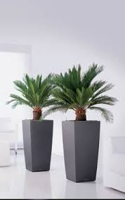 Planters First Online by Mediterranean Palm Is An Excellent Choice For Planters Or As A