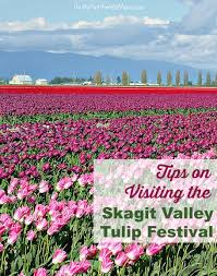 skagit valley tulip festival bloom map skagit valley tulip festival tips places to visit
