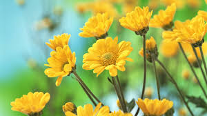 yellow daisy wallpapers gallery for u003e daisy wallpapers