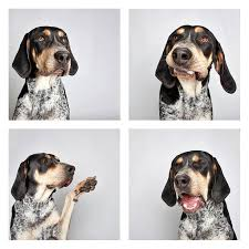 bluetick coonhound song 32 best about my animals images on pinterest bluetick coonhound
