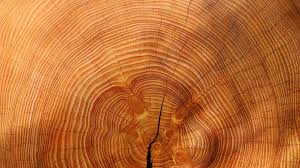 tree rings images images Ua tree ring researchers add to climate study azpm jpg