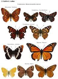 northwest butterflies naming lepidoptera ace ideas