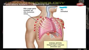 Anatomy Structure Of Human Body Respiratory System How Human Body Works Human Body Parts And