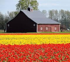 scene through my eyes tulip fields