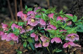 Flower Shrubs For Shaded Areas - pacific horticulture society great plant picks 2012 made in the