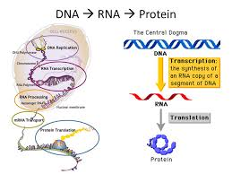 Dna Rna And Protein Synthesis Worksheet Protein Synthesis Ppt