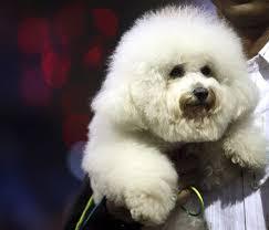 bichon frise years dog show at 103 year old club lifestyle news sina english