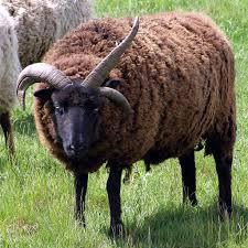 hebridean sheep wikipedia