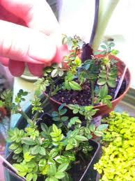modern miniature plants for fairy gardens miniature plants for