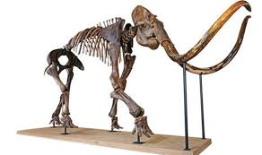 incredible rare woolly mammoth skeleton fetch