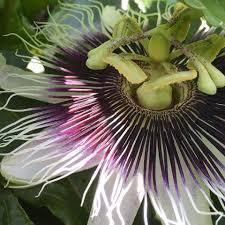 Rainforest Passion Flower - a passion for passion fruit rainforest alliance