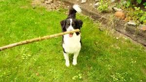 australian shepherd jobs cute australian shepherd dog playing stick catching youtube
