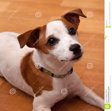 jack russel dog stock photography image 23355112