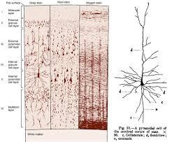 chandelier cells neurones co uk
