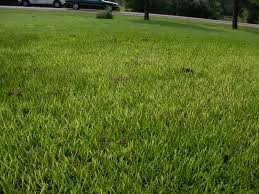 Light Green Color by Yellowing St Augustine Grass