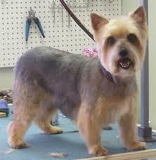 silky terrier hair cut grooming pics