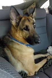 belgian shepherd kijiji adopted dogs 2012