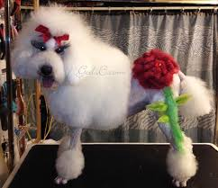 bichon frise grooming guide standard poodle creative groom god u0027s creatures