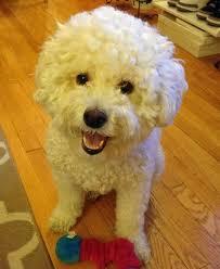 bichon frise therapy dog charlie the bichon frise poodle mix b dogs pinterest