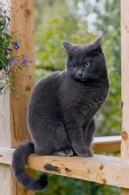 top 25 best grey cat breeds ideas on pinterest cat face common