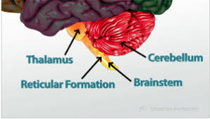 Thalamus Part Of The Brain Parts Of The Brain Video U0026 Lesson Transcript Study Com
