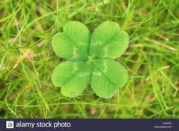 close up of four leaf clover stock photo royalty free image