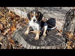 videos of bluetick coonhounds redbone bluetick u0026 beagle hound puppies for sale ontario