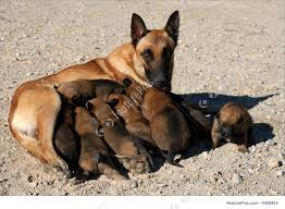 belgian shepherd kennels picture of belgian shepherd and puppies