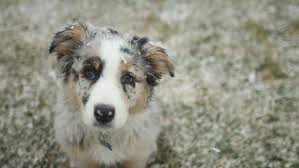 commercials with australian shepherds australian shepherd stock footage video shutterstock