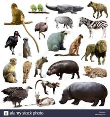 hippo cut out stock photos u0026 hippo cut out stock images alamy