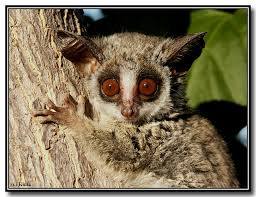 This is the Bush Baby.The scientific name for the Bush Baby is lesser galago.